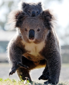 Koalas in Gunnedah - Surfers Gold Coast