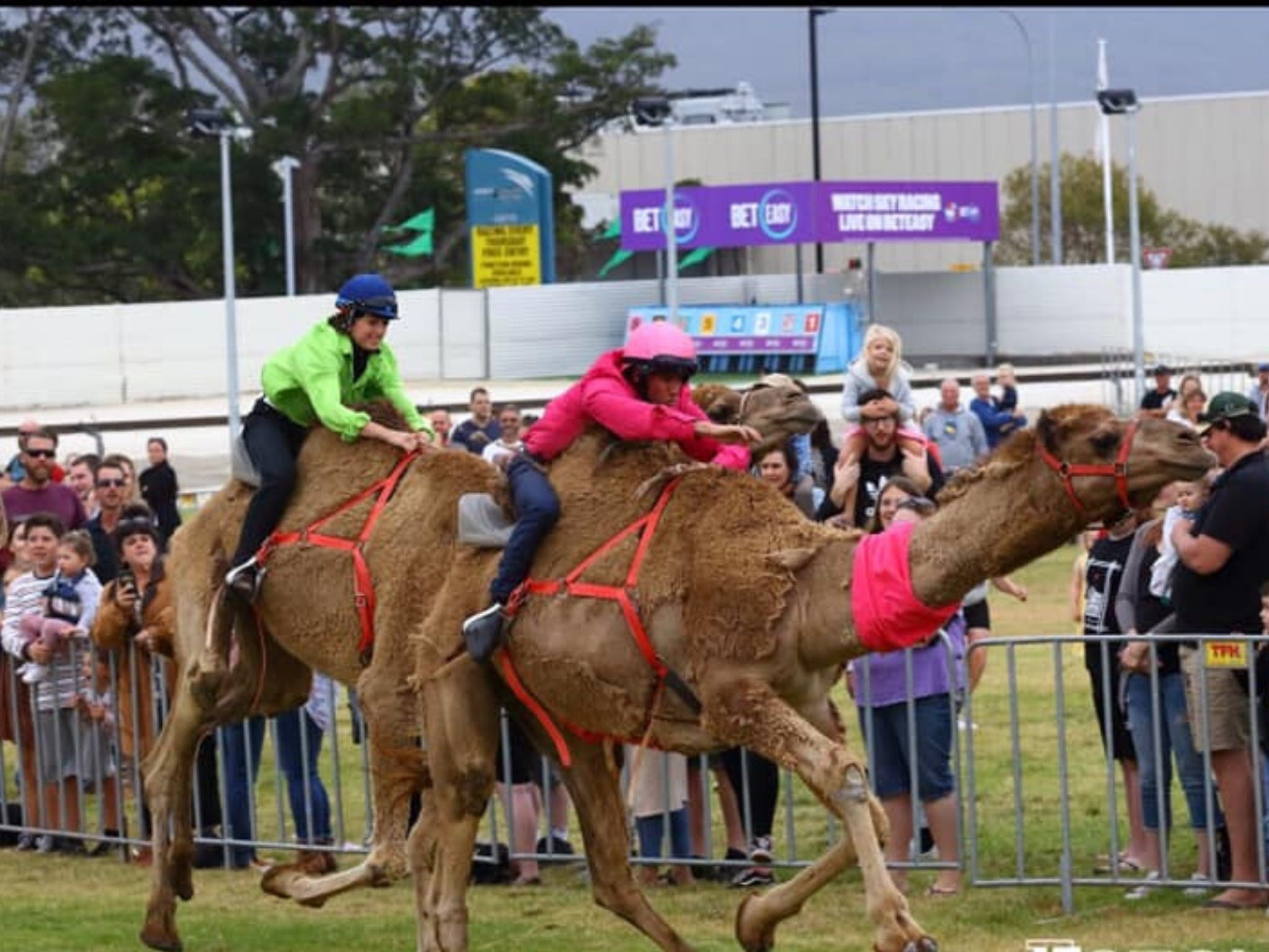 Camel Races at Gosford Showgrounds - Surfers Gold Coast