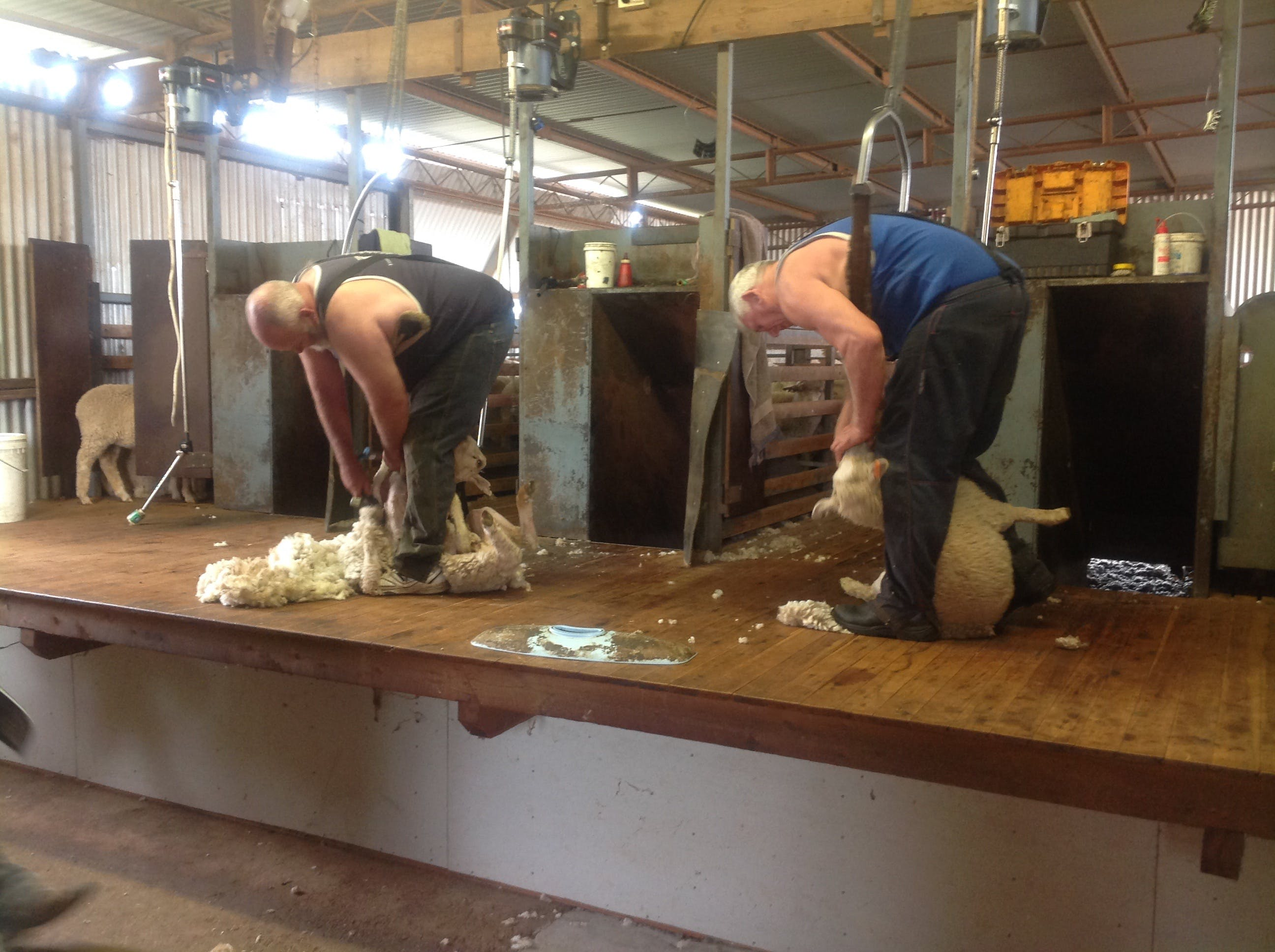 Sheep Shearing Farm Tour - Surfers Gold Coast